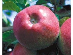 Jabloň ´Malináč´