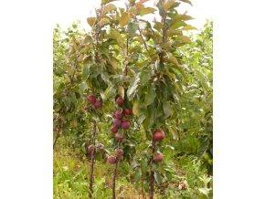 Jabloň sloupovitá ´Maypole´