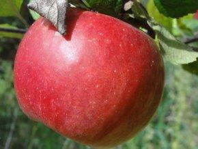 Jabloň ´Melrose´