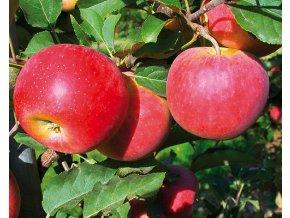 Jabloň ´Merkur´
