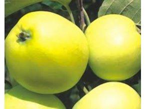 Jabloň ´Olivové žluté´