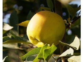 Jabloň ´Opál´