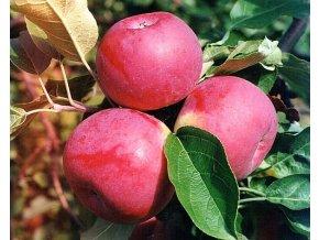 Jabloň ´Paula Red´