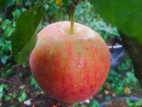 Jabloň ´Piros´