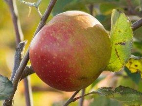 Jabloň ´Red Boskoop´