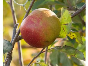 malus domestica red boskoop (2)