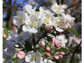 Jabloň okrasná ´Red Sentinel´