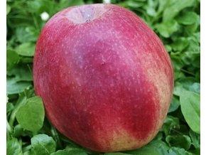 Jabloň ´Řehtáč soudkovitý´