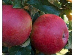 Jabloň ´Sudetská Reneta´