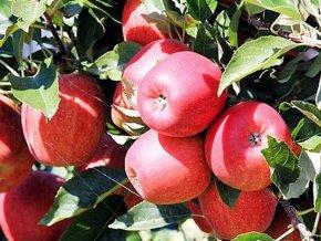 Jabloň sloupovitá ´Sunlight´