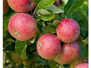 Jabloň ´Vanda®´
