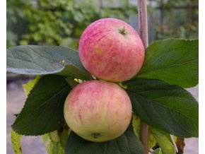 Jabloň sloupovitá ´Ciepa´