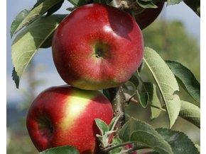 Jabloň sloupovitá ´Garden Fountain´