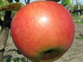 Jabloň sloupovitá ´Koral´