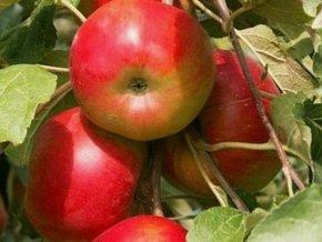 Jabloň sloupovitá ´Ostankino´
