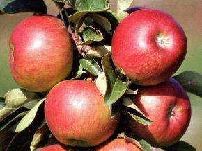Jabloň sloupovitá ´Pomredrobust/Galahad´