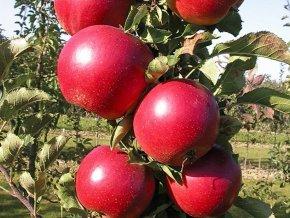 Jabloň sloupovitá ´Red Spring´ (Balení prostokořenný stromek, Podnož MM106)