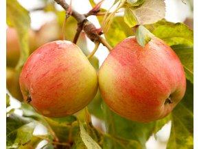 Jabloň sloupovitá ´Vesna´