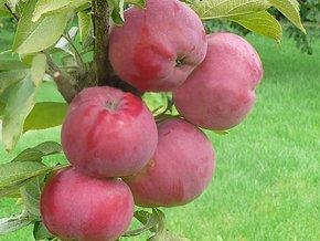 Jabloň sloupovitá ´VM´