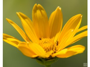 heliopsis helianthoides sommersonne