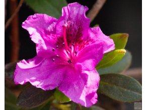 Azalea japonica Otava
