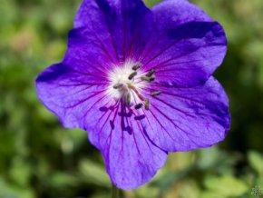 Kakost himalájský ´Gravetye´ - Geranium himalayense 'Gravetye'