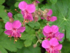 Kakost oddenkatý ´Czakor´ - Geranium macrorrhizum 'Czakor'