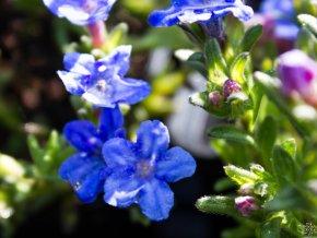 Kamejka rozkladitá 'Heavenly Blue' - Lithodora diffusa 'Heavenly Blue'