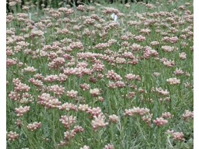 Kociánek dvoudomý 'Bright Rose' - Antennaria dioica 'Bright Rose'