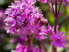 Kohoutek alpský 'Rosea' - Lychnis alpina 'Rosea'