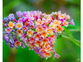 Buddleja davidii 'Power Flower'