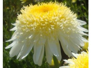 Kopretina  ´Real Glory´- Leucanthemum 'Real Glory'