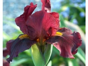Kosatec německý ´Red Orchid´ - Iris germanica 'Red Orchid'