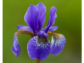 Kosatec sibiřský ´Caesar´s Brother´ - Iris sibirica 'Caesar´s Brother'