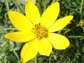 Krásnoočko přeslenité ´Zahreb´ - Coreopsis verticillata 'Zahreb'