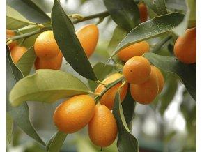 Kumquat 'Margarita'
