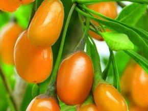 lycium barbarum amber sweet goji