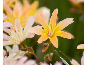 lewisia little peach (1)