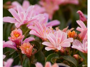 lewisia little plum (2)