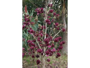 48 magnolie genie 1