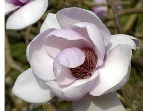 Magnolie 'Iolanthe'