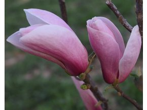 Magnolie ´Simple Pleasure´