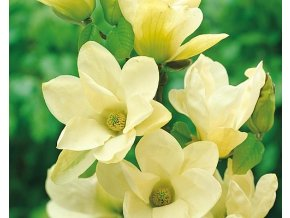 Magnolie ´Yellow River´