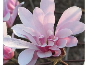 Magnolie hvězdnokvětá ´Chrysanthemiflora´