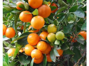 Mandarinkovník ´Calamondin´