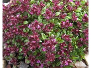 Mateřídouška úzkolistá ´Elfin´ - Thymus praecox 'Elfin'
