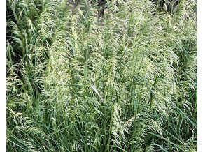 Metlice trsnatá ´Pixie Fountain´ - Deschampsia caespitosa 'Pixie Fountain'