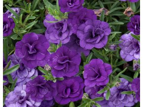 Calibrachoa - Million Bells ´Double Blue´