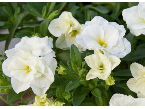 Calibrachoa - Million Bells ´ Compact Double White´