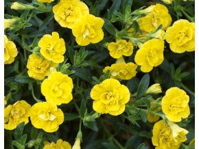 Calibrachoa - Million Bells ´Double Yellow´